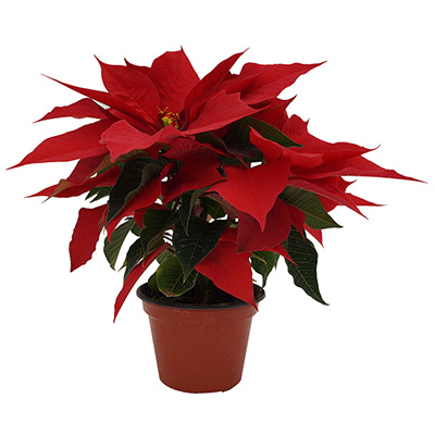 PLANTA NOCHEBUENA 3"
